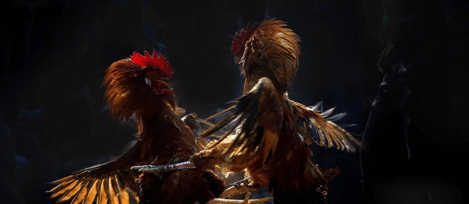 Membuat Akun Sabung Ayam